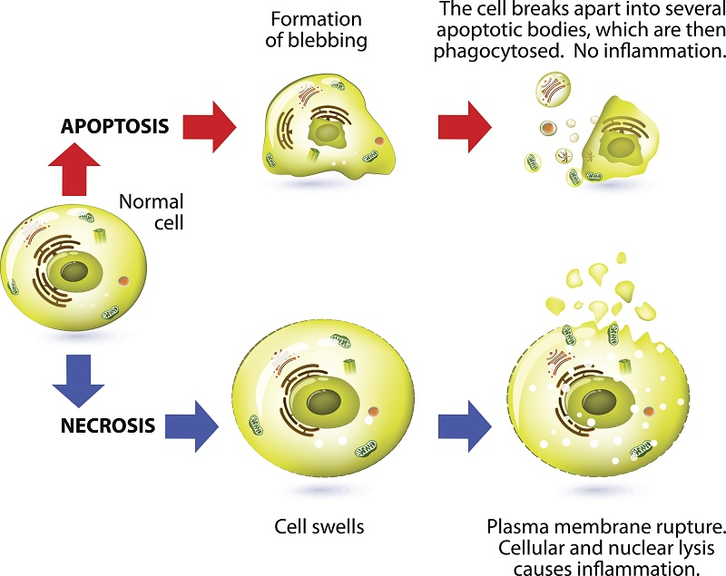 Apoptosis versus necrosis is a form of cell death. Structural changes Of cells undergoing necrosis or apoptosis. Schematic Representation Of The Process Apoptosis and necrosis. Apoptosis is triggered by normal, healthy processes in the body. Necrosis is cell death that is triggered by external factors or disease, such as trauma or infection.
