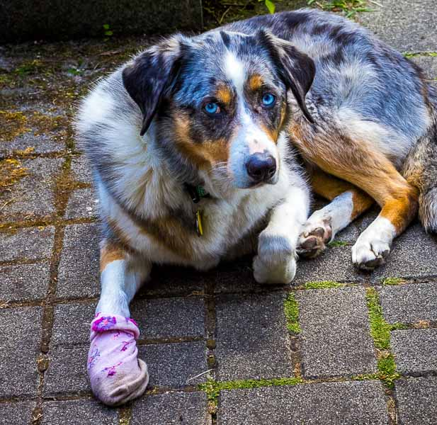 Veterinarian Abroad. Sora with a hurt paw.