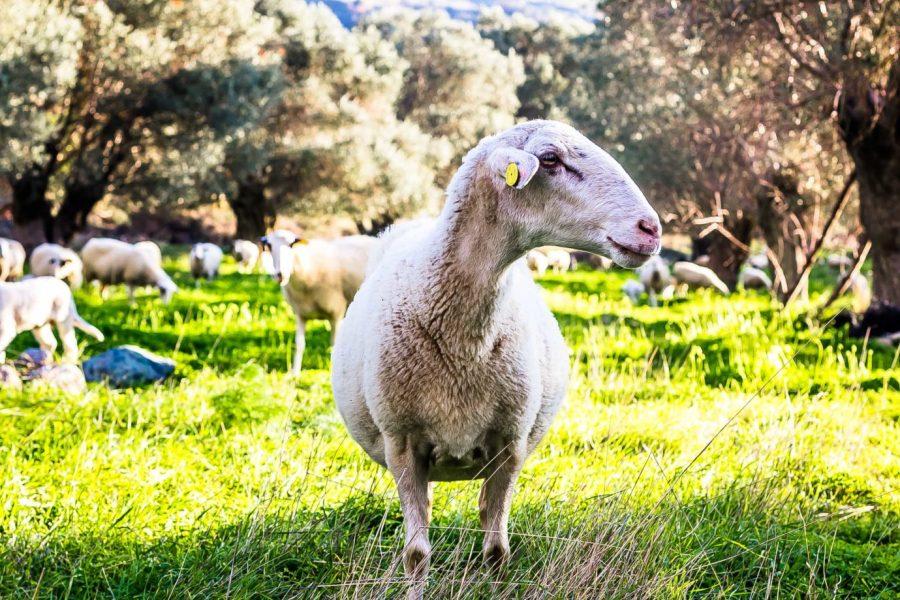 Sheep_Sheep-1