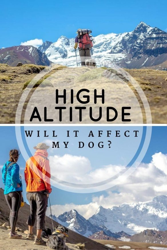 Dogs can be affected by high altitude, so take care with hiking with dogs in high elevation. Follow our tips for avoiding altitude sickness with your dog.   Long Haul Trekkers