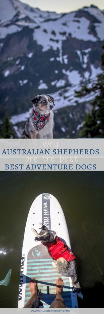 With their intelligence, athleticism, and adaptability, the Australian Shepherd makes a stellar adventure dog.