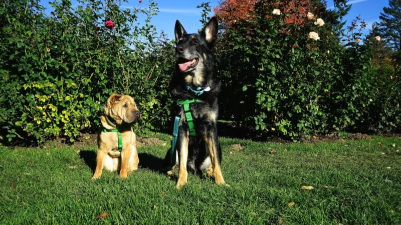 Buster and Ty of GoPetFriendly.com enjoyed their visit to Portland's dog-friendly International Rose Test Garden.