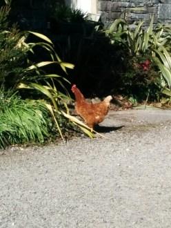 walk-brownchicken