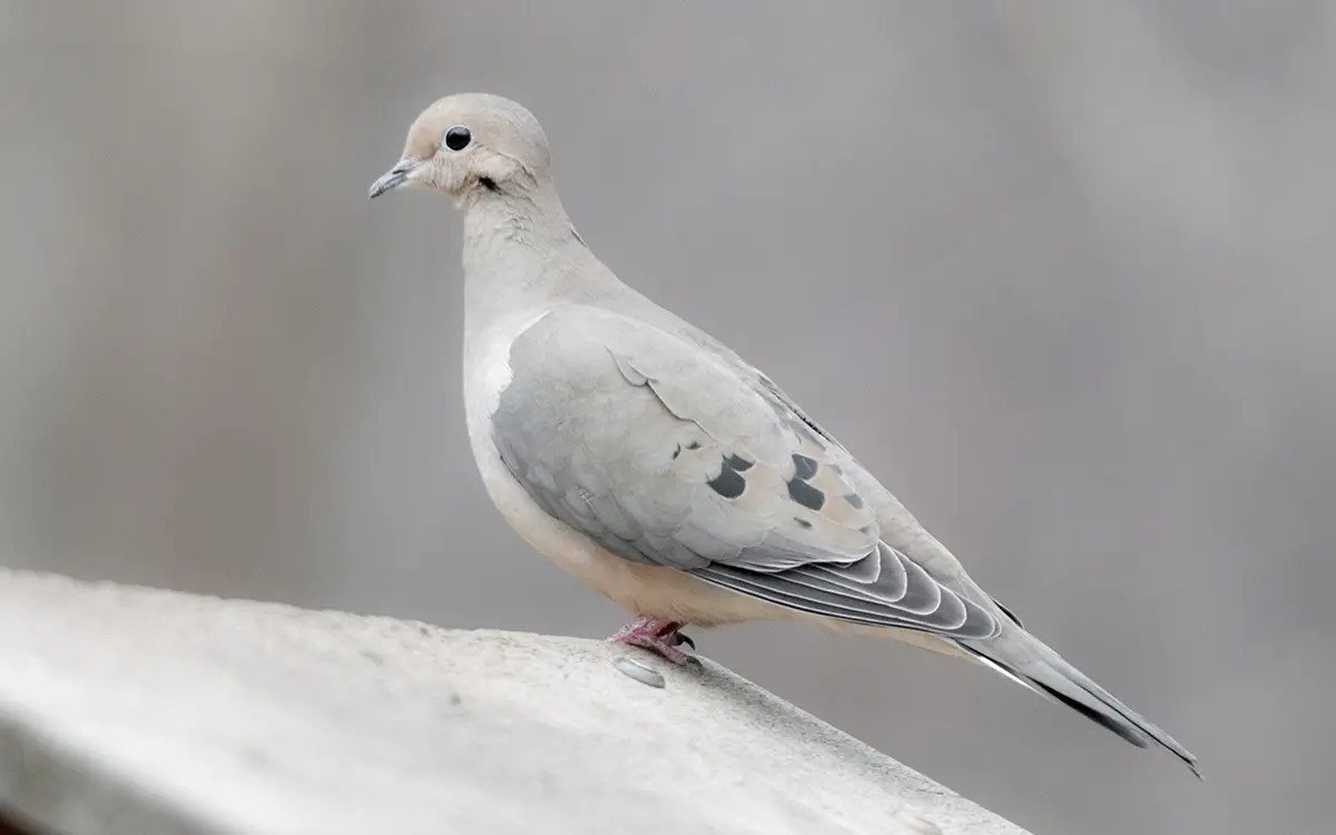 A gorgeous dove perched on a log in wintertime, longmeadow game resort and event center