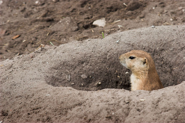 Prairie dog peaking his head out of the hole