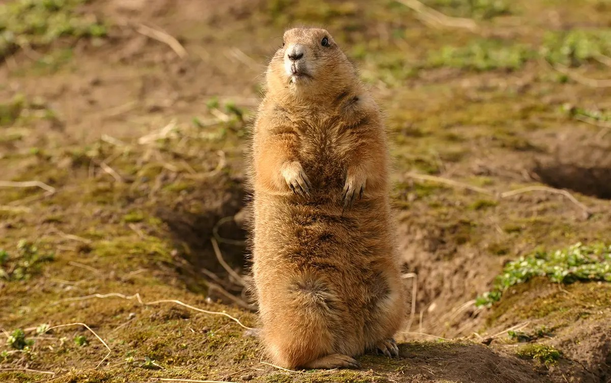 A prairie dog standing outside his hole on the high plains - Colorado Prairie Dog Hunting
