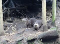 2 cute Eurasian otter pals