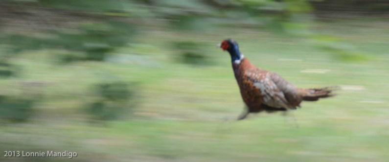 Pheasant 20130823-15