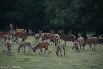 Red Tail Deer