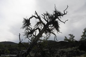 These are called witches broom and are caused by mistletoe.