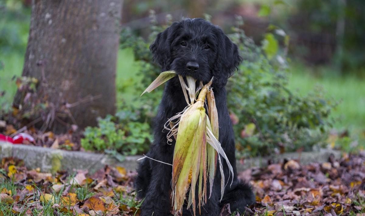 koer ja juurviljad