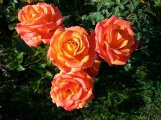 mopana-October-roses-01