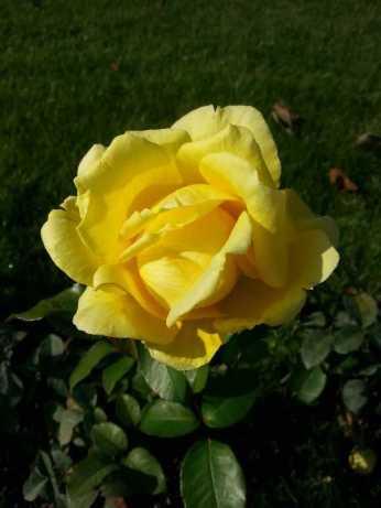 mopana-October-roses-07