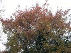 mopana-autumn-tree-13