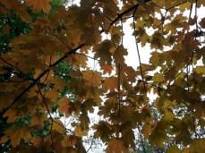 mopana-autumn-tree-11