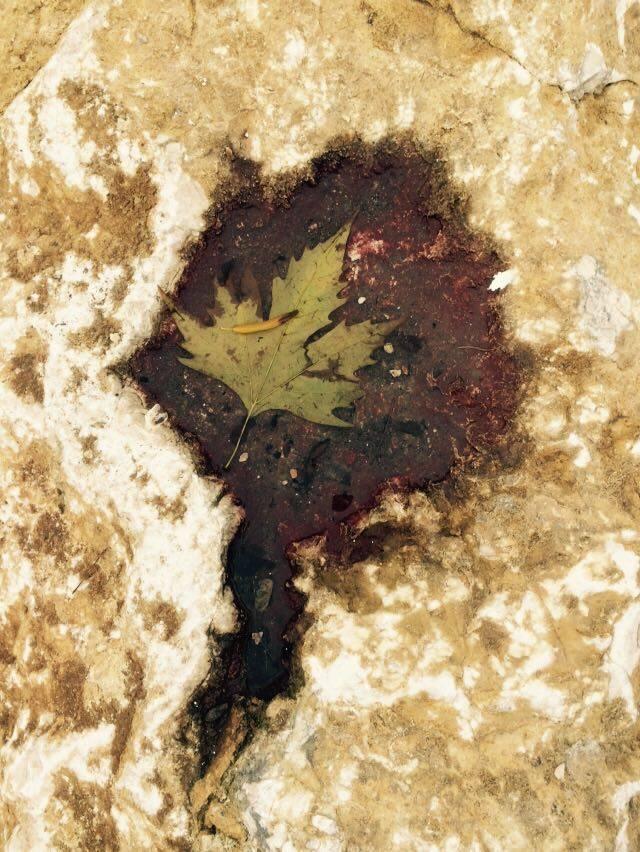 mopana-leaf-in-rock-01