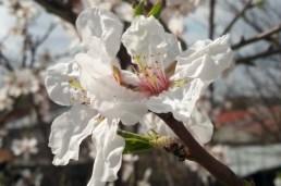 mopana blooming tree