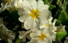 spring-dew-01
