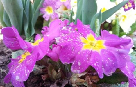 spring-dew-06