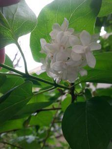 mopana-beautiful-white-lilac-02