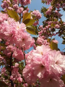 mopana-Sakura- festival-04
