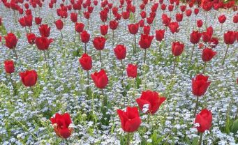 mopana-tulip-01