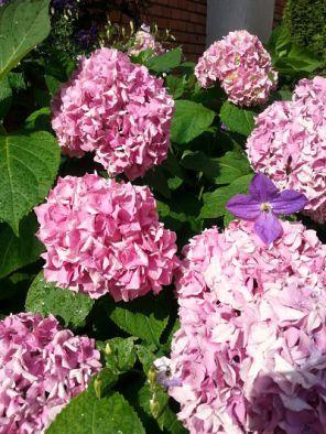 mopana-beautiful-pink-hydrangea-06