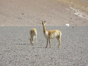 The Guanacos