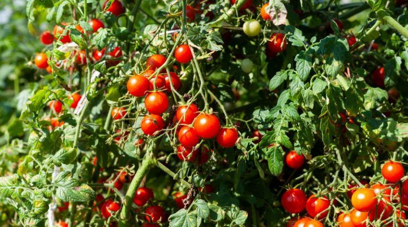 grow new food tomatoes
