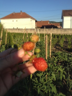 dredhëz [strawberries] (seriously out of focus because my phone would not cooperate)