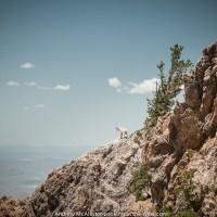 Friends in high places: Willard Peak mountain goat