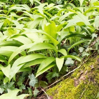 Wild Garlic: Abundant and Versatile
