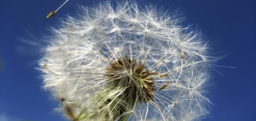 dandelion with a seed in the wind