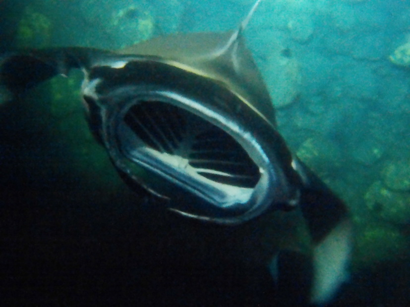Mantarochen Hawaii