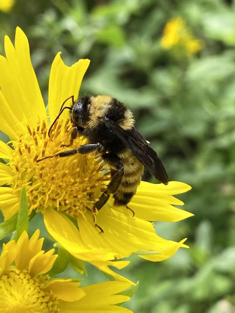 Yellow bumble bee