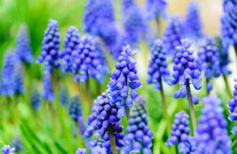 A Surprising Inspiration for Perfectionists from a Grape Hyacinth by Pearl Allard (Look Up Sometimes)