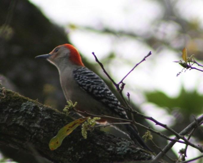 Red-Bellied Woodpecker Taken at Tree Tops Park in Davie, FL