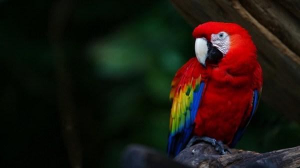 Птицы. Попугаи. Птица-говорун. Отличается умом и ...