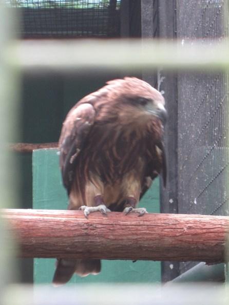 在筲箕灣發現的麻鷹