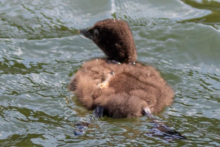 LMG 26251 Lake Tomahawk Kemp Injured Chick