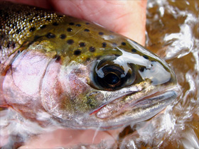 Upper Dean River cuttbow... a classic trout for this river in the West Chilcotin, BC Canada :: photo by Richard Mayer