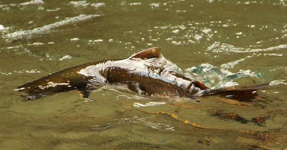 Dolly Varden on Upper Skagit River by Richard Mayer :: The LOONS Flyfishing Club