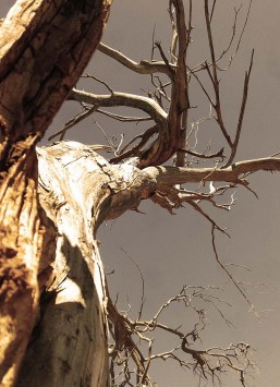 dried-out-tree