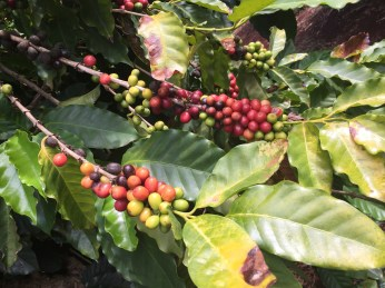 Coffe beans on the tree