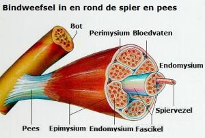 bindweefsel-spier-pees