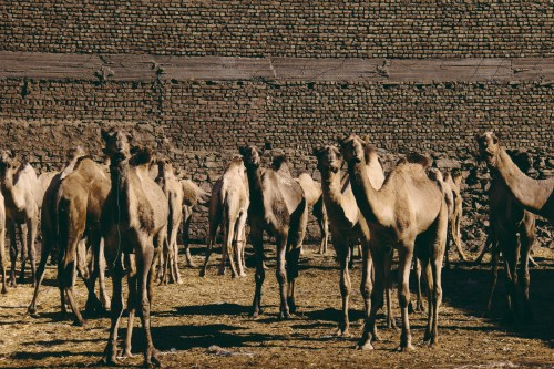 Camels waiting for market. This town has one of the biggest camel markets but we missed the prime day. The camels are brought up from Sudan and auctioned off.
