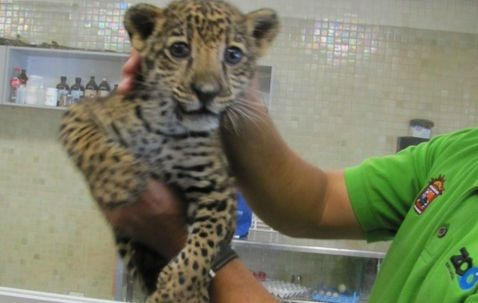Envían cachorro de jaguar por paquetería - Milenio