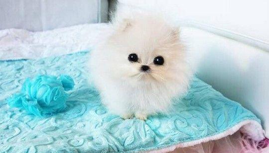 Paris Hilton compra perro de 13 mil dólares - Foto de Bettys Teacup Yorkies