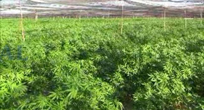 Respetaremos decisión de la SCJN sobre mariguana: COFEPRIS - Localizan plantío de mariguana en Baja California