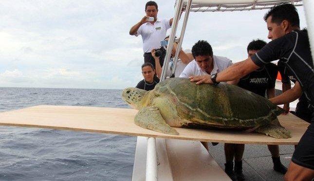 Regresan a su hábitat a tortuga de 188 kilos - Foto de Notimex